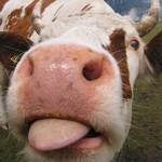 cow_licking