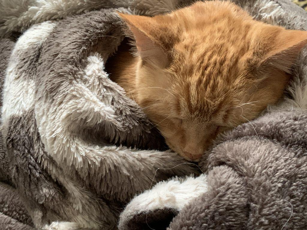 Lord Lardbottom, an orange tabby polydactal manx cat, in a Cuddle Pile